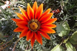 gazania flower wallpaper