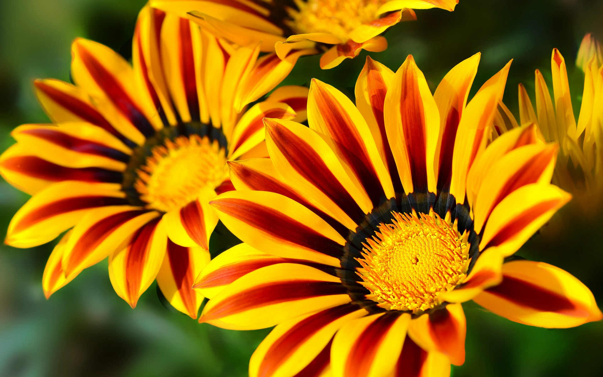 gazania wallpaper background