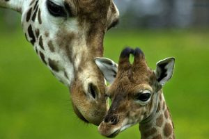 giraffe baby wallpaper background