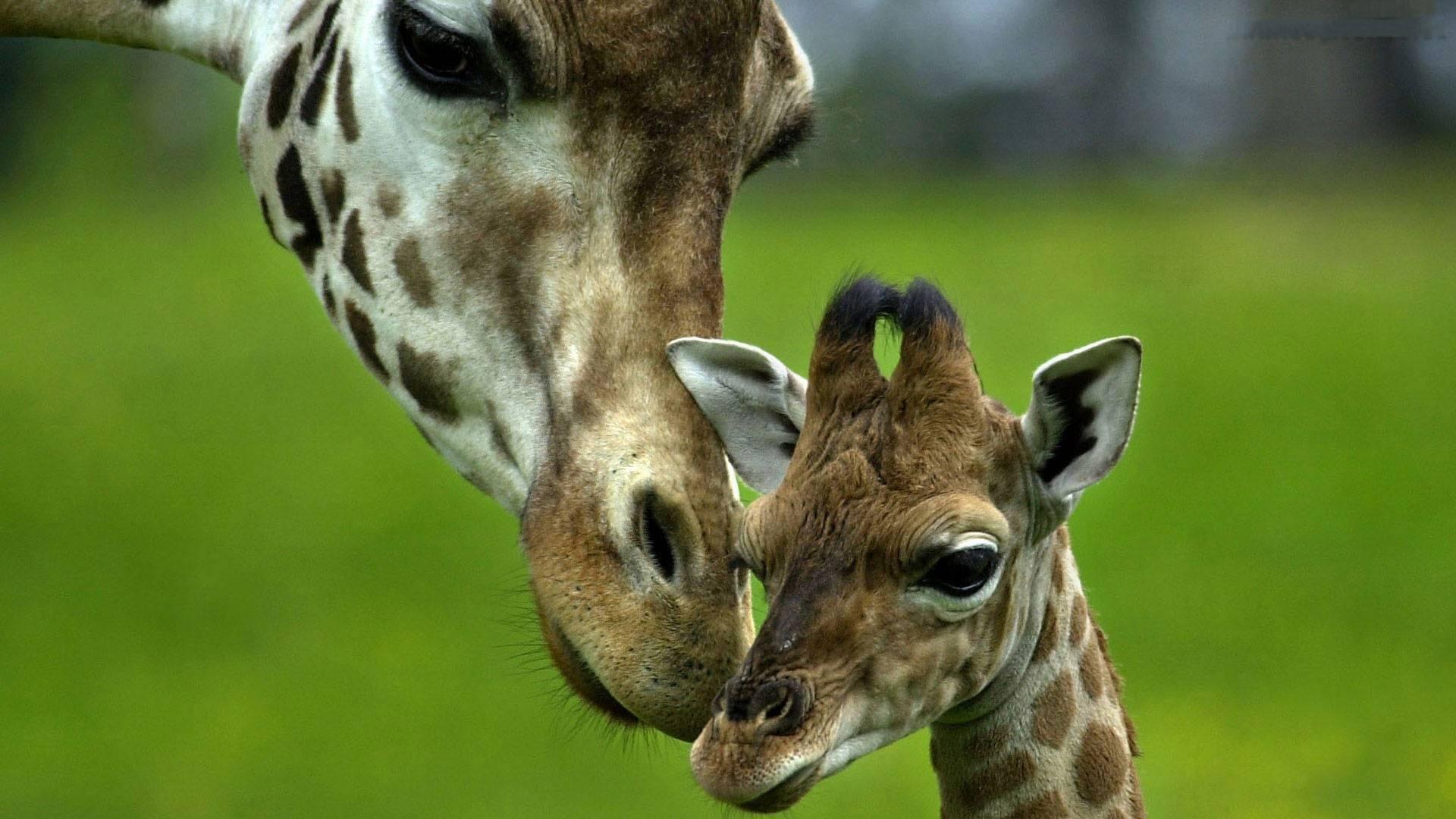 giraffe baby wallpaper background