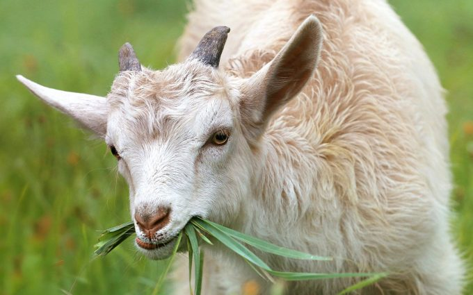goat wallpaper background, wallpapers