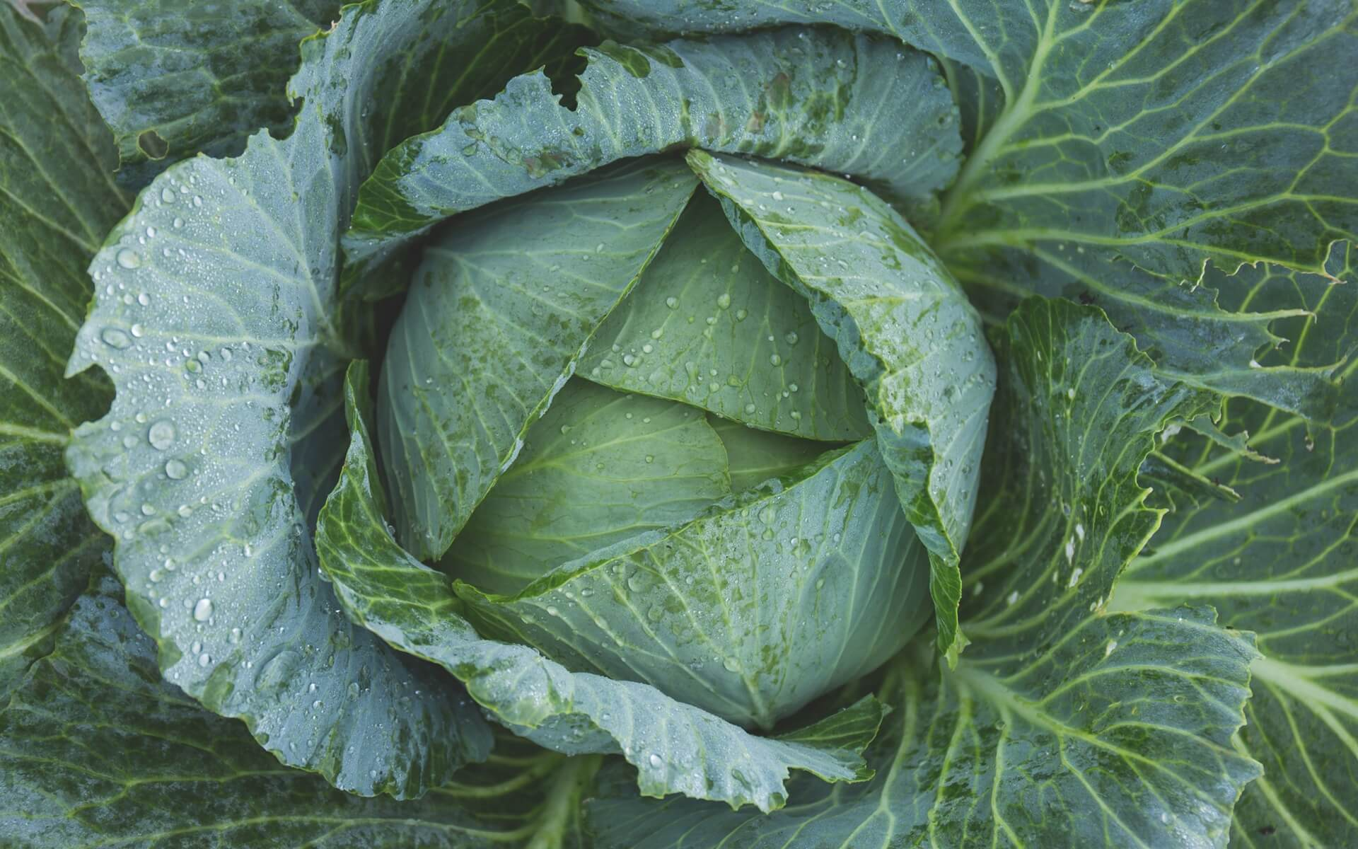 green cabbage wallpaper background