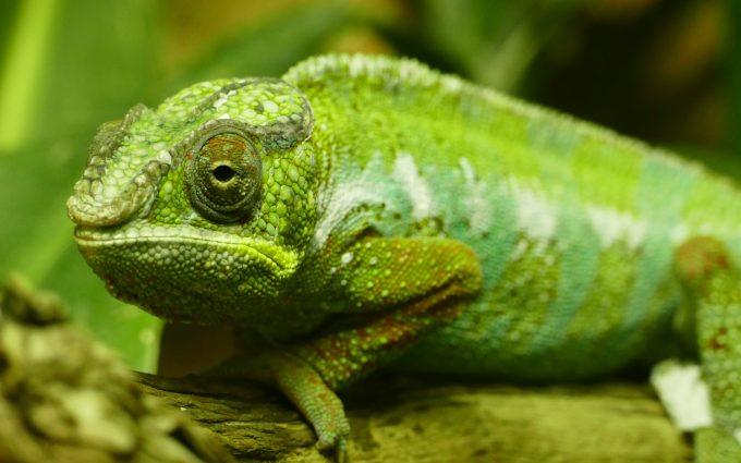 green chameleon close up wallpaper 4k background