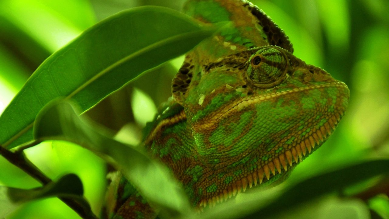 green chameleon widescreen wallpaper - photo #2