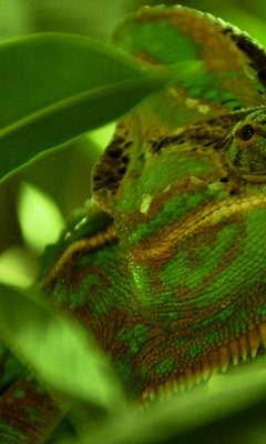 Green Chameleon Wallpaper Background Hd Wallpaper Background