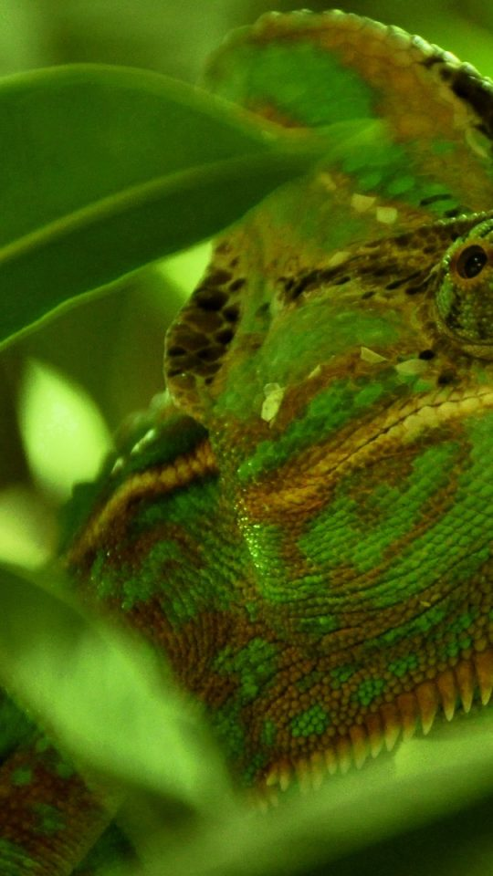 green chameleon widescreen wallpaper - photo #4