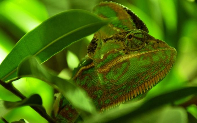 green chameleon wallpaper background