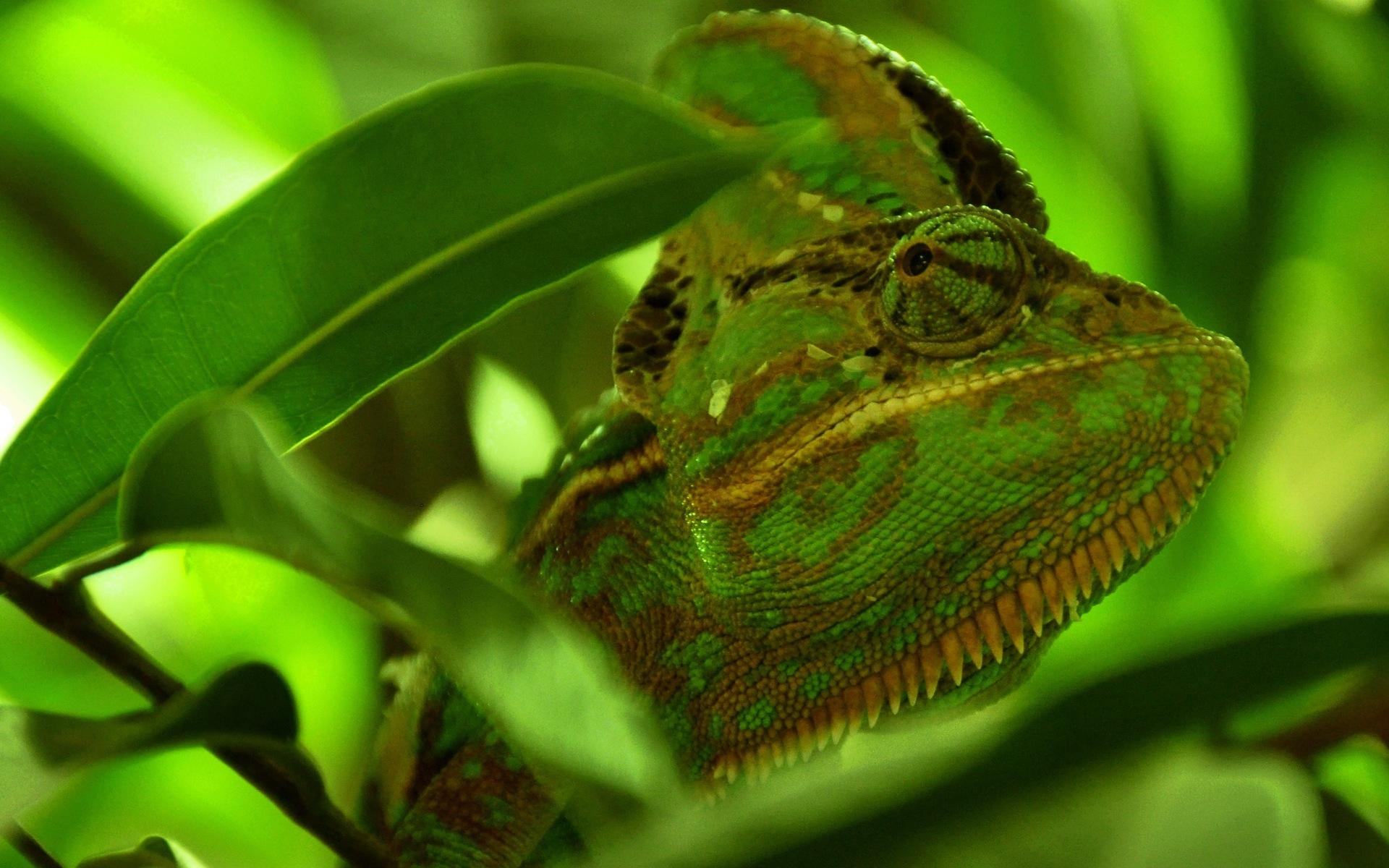 green chameleon wallpaper background