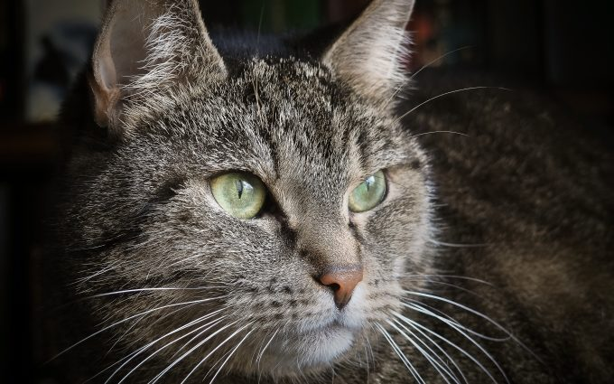 green eyes cat wallpaper 4k background
