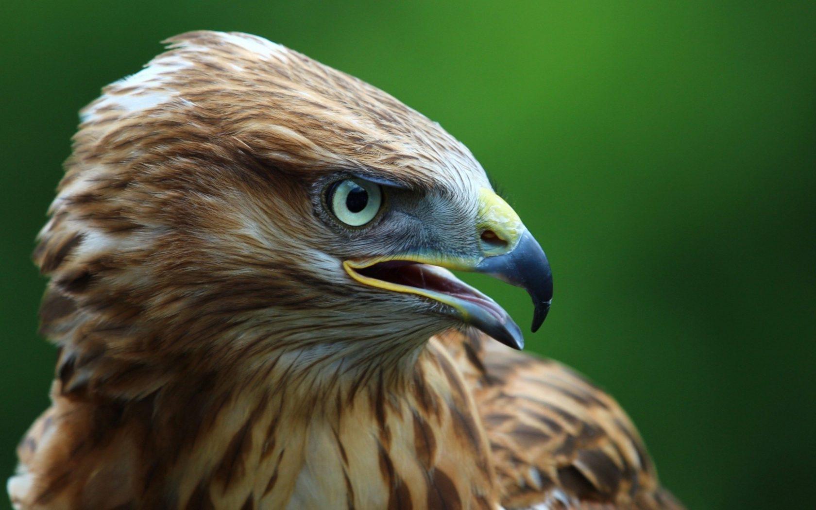 Green Eyes Eagle Wallpaper Background | HD Wallpaper ...