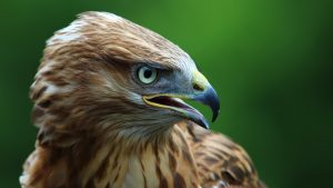 Green Eyes Eagle Wallpaper Background