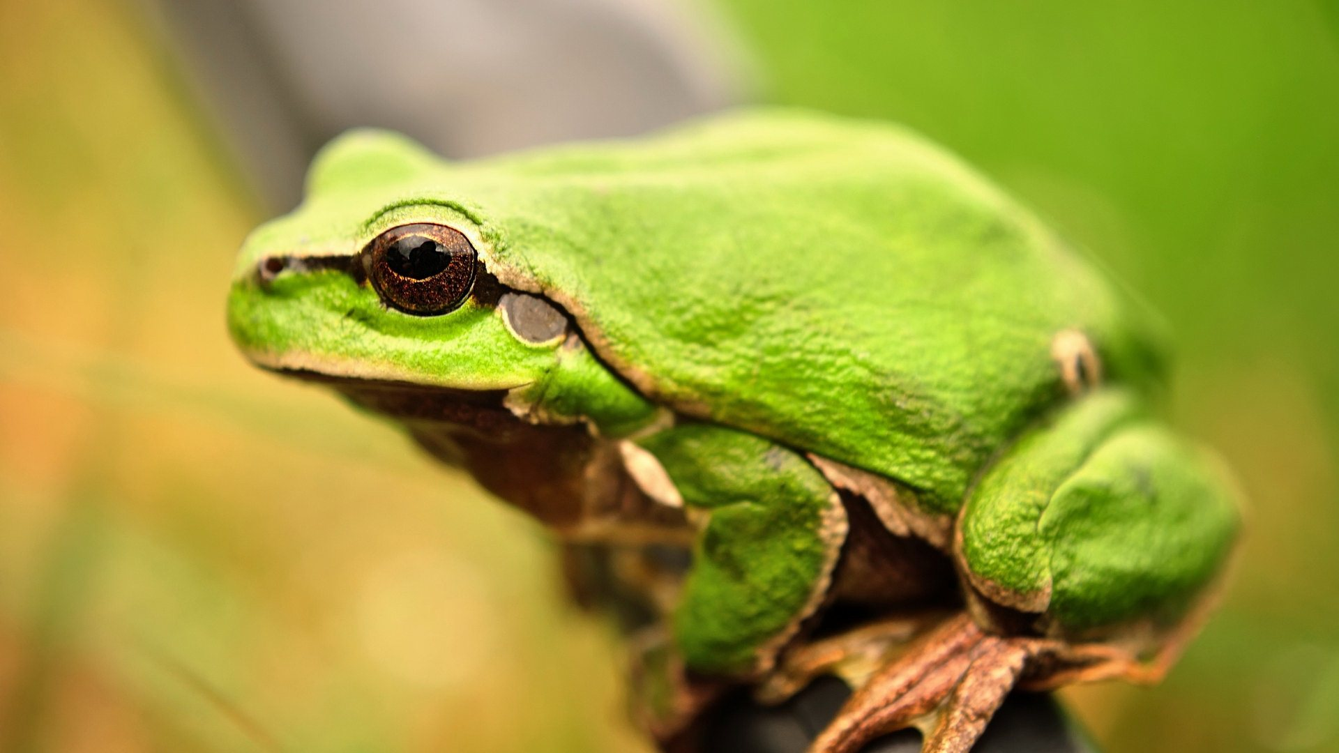 green frog macro wallpaper