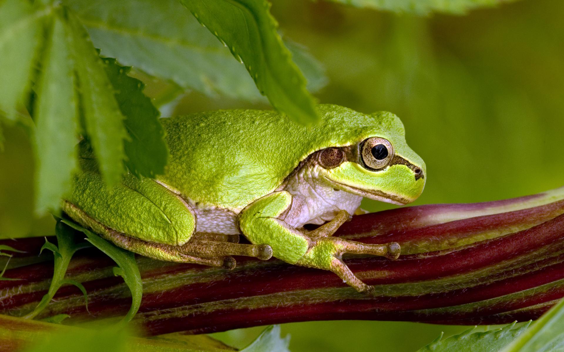 green frog wallpaper background