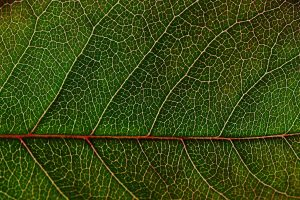 green leaf macro wallpaper background