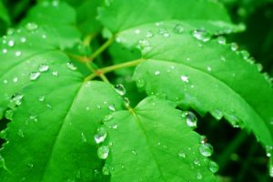 green leaf water drops wallpaper background