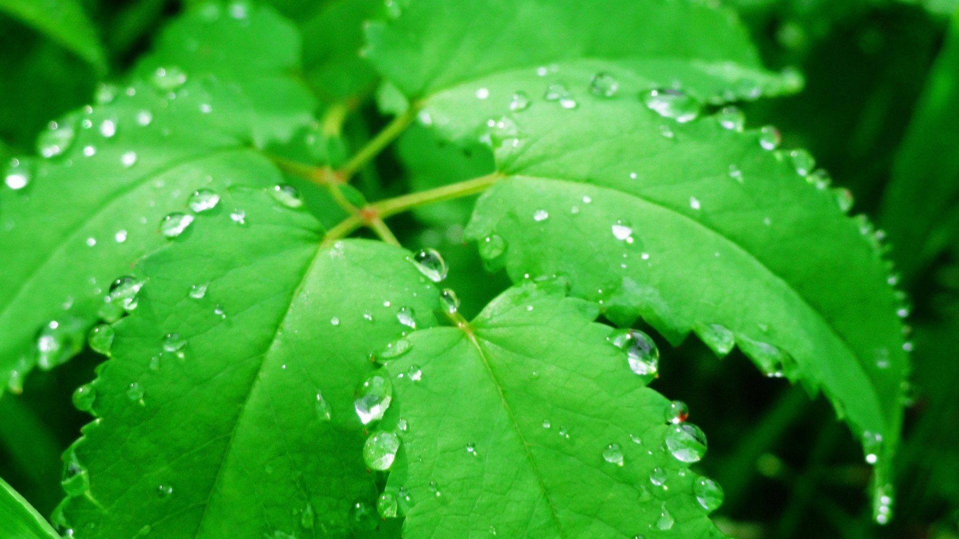 green leaf water drops wallpaper background