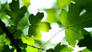 Green Leaves Wallpaper 4K Background