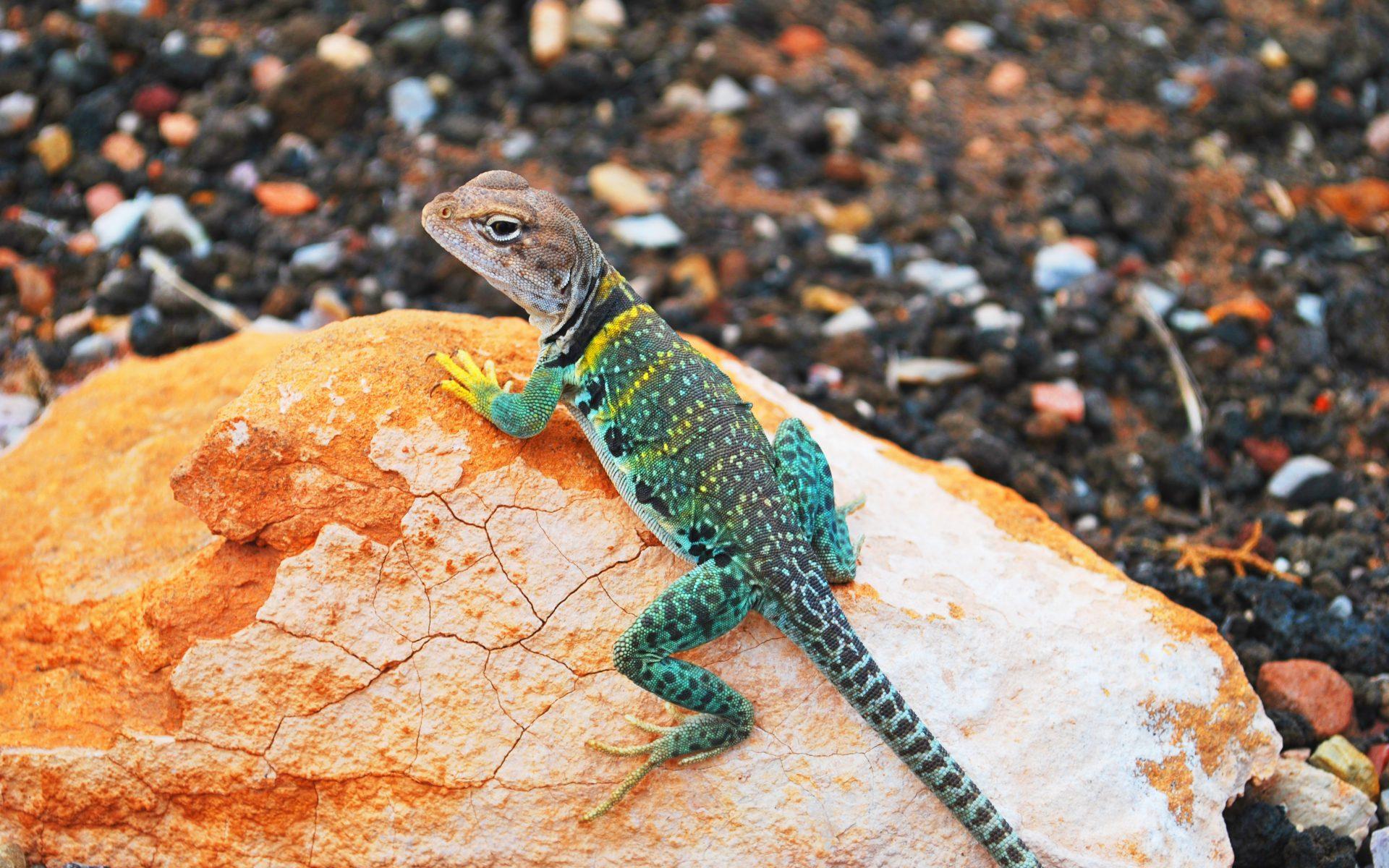 3840x2160 wallpaper lizard gecko - photo #14