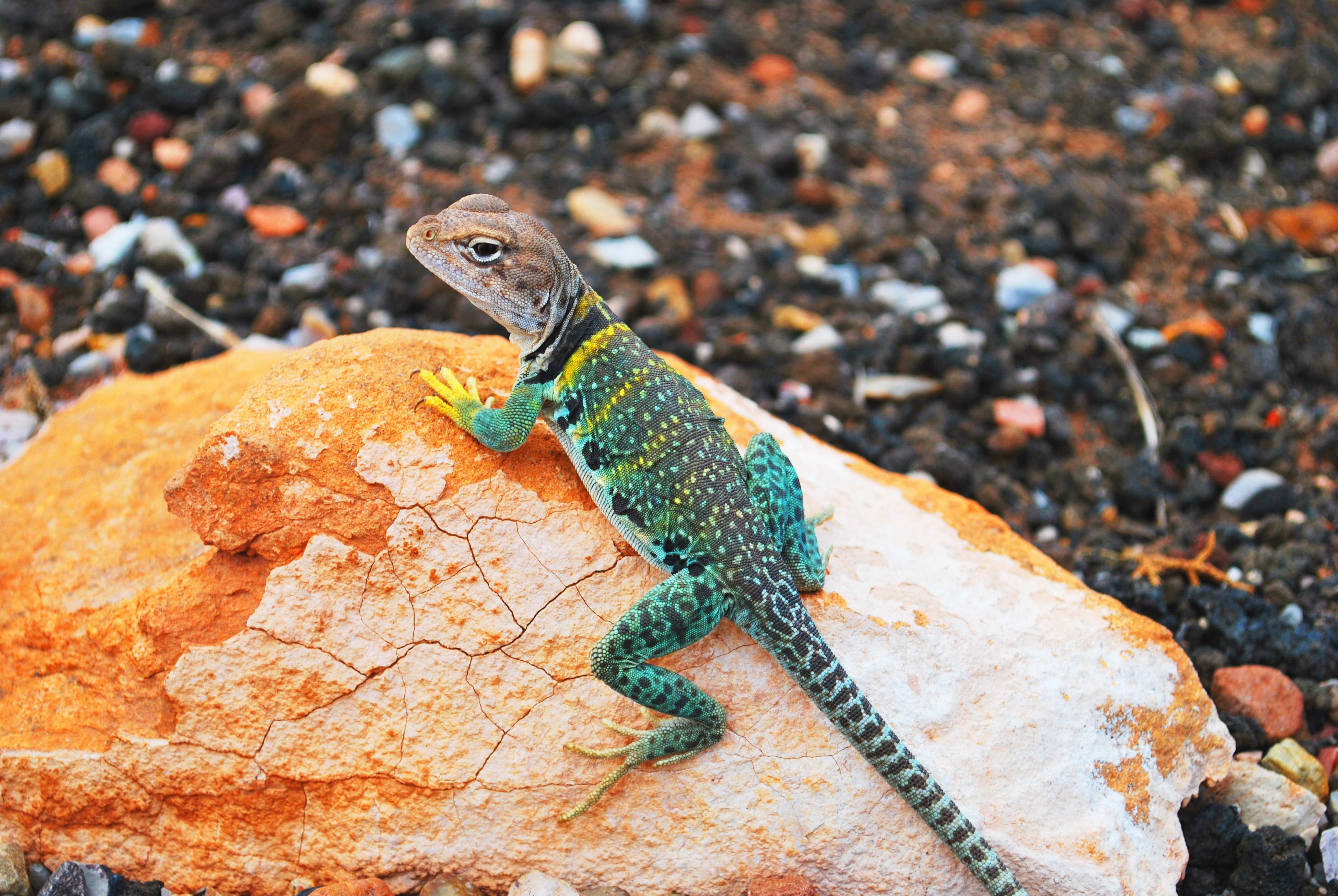 green lizard wallpaper 4k background