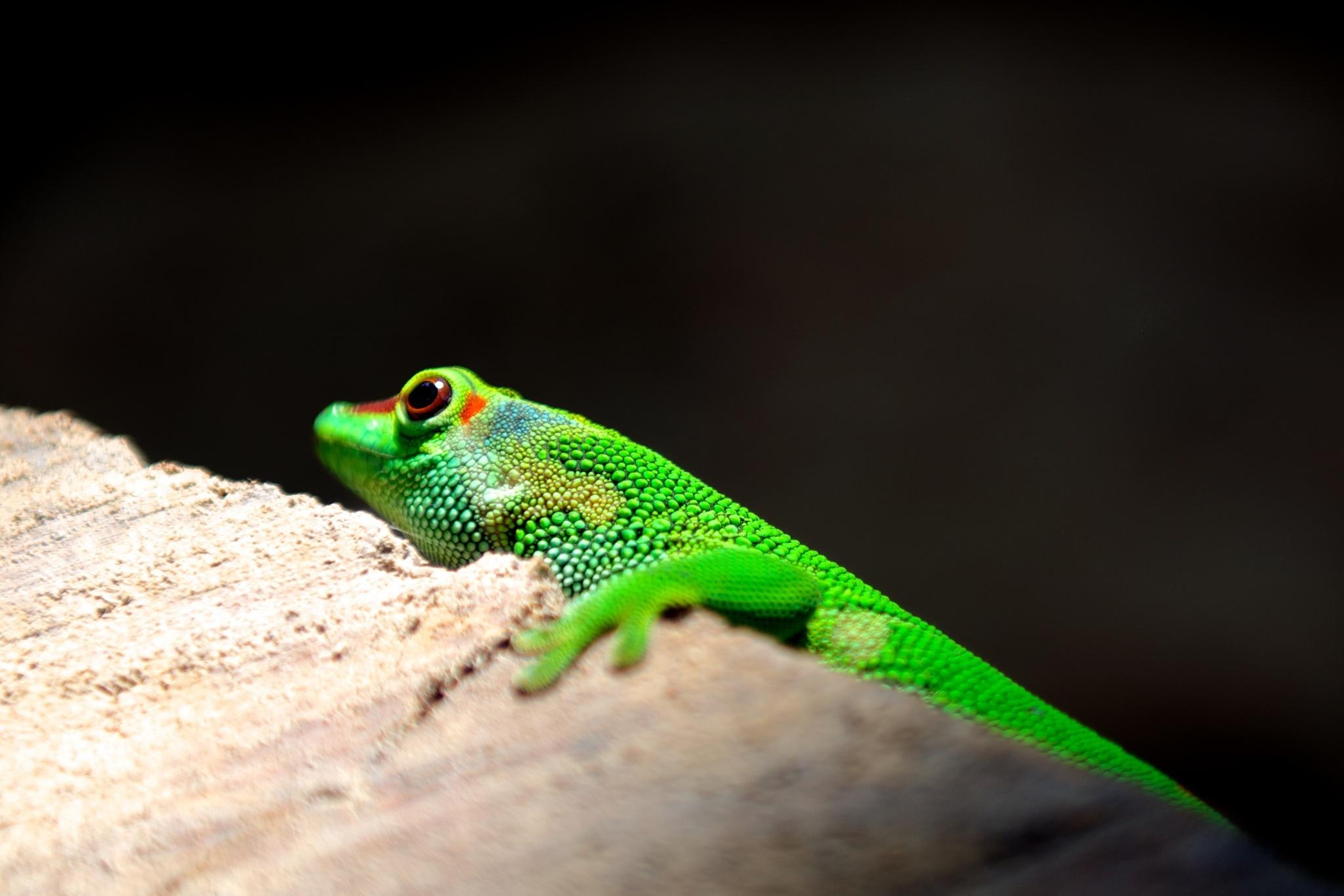 green lizard wallpaper background