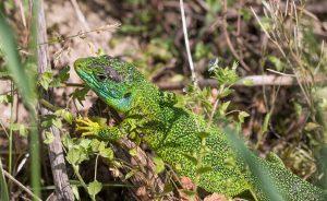 Green Lizard Widescreen Wallpaper