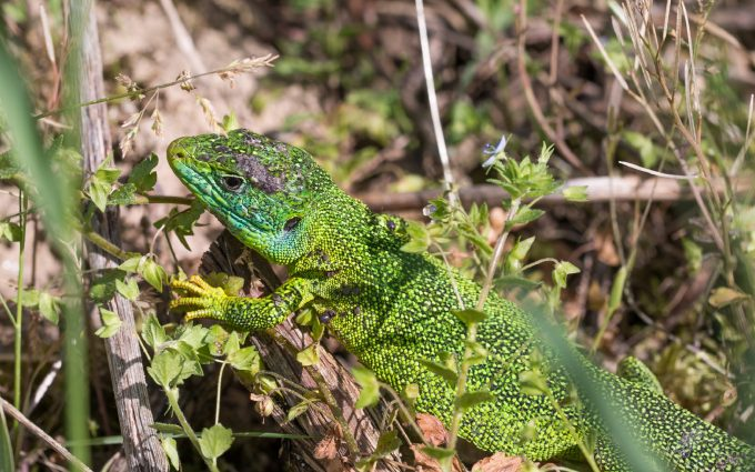 green lizard widescreen wallpaper background