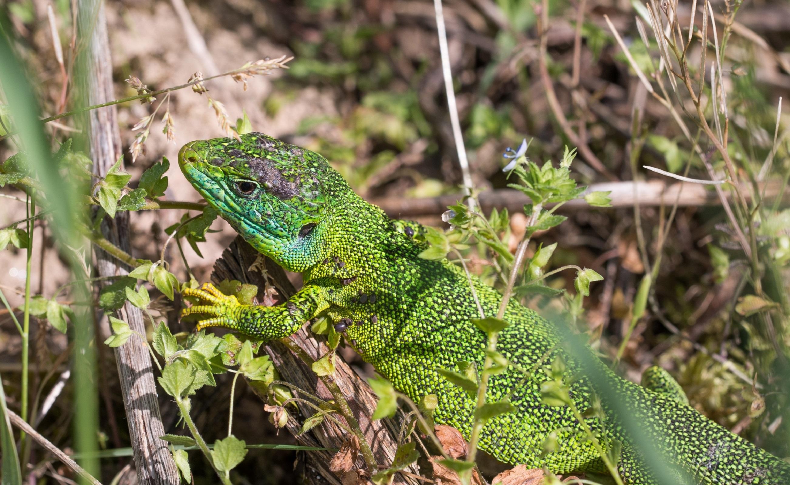 green lizard widescreen wallpaper background