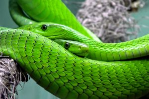 Green Snake Wallpaper Background