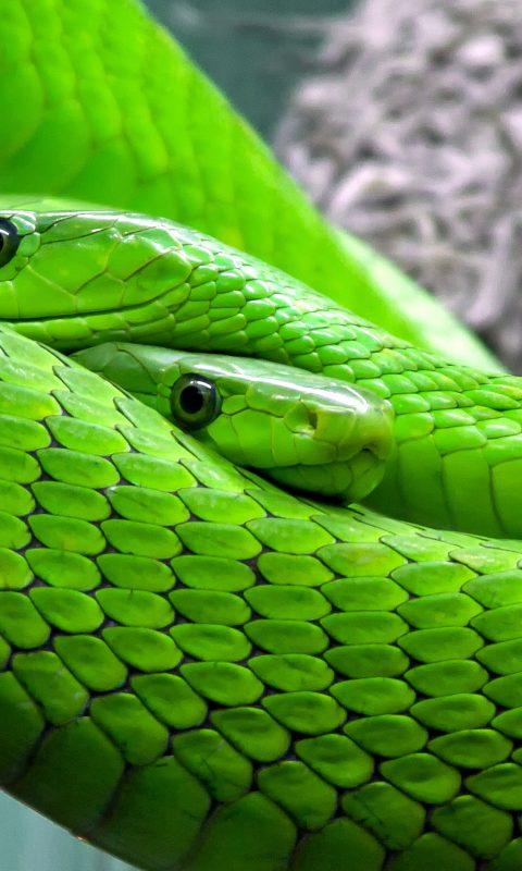 Green snake wallpaper background hd wallpaper background - Green snake hd wallpaper ...