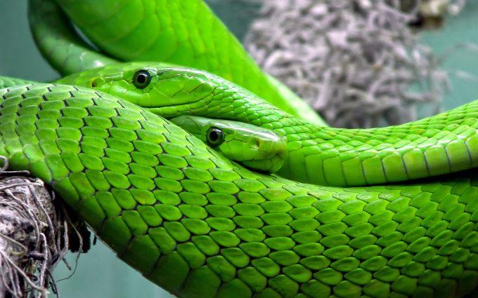 green snake wallpaper background
