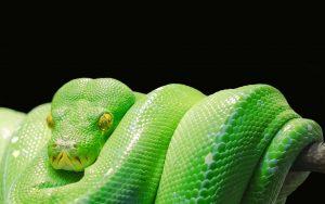 Green Tree Python Wallpaper Background