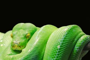 green tree python wallpaper background