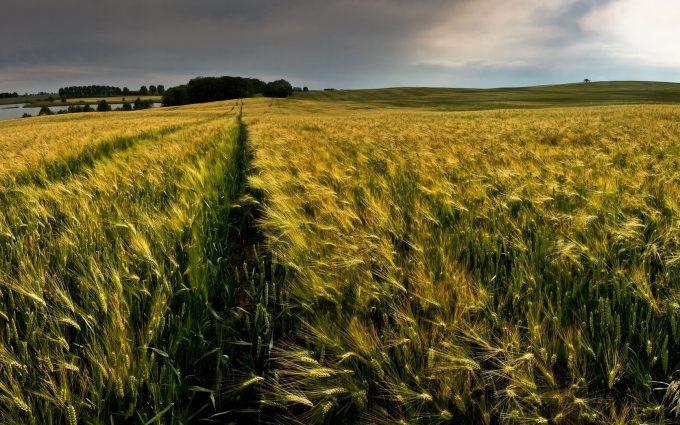 green wheat field wallpaper background