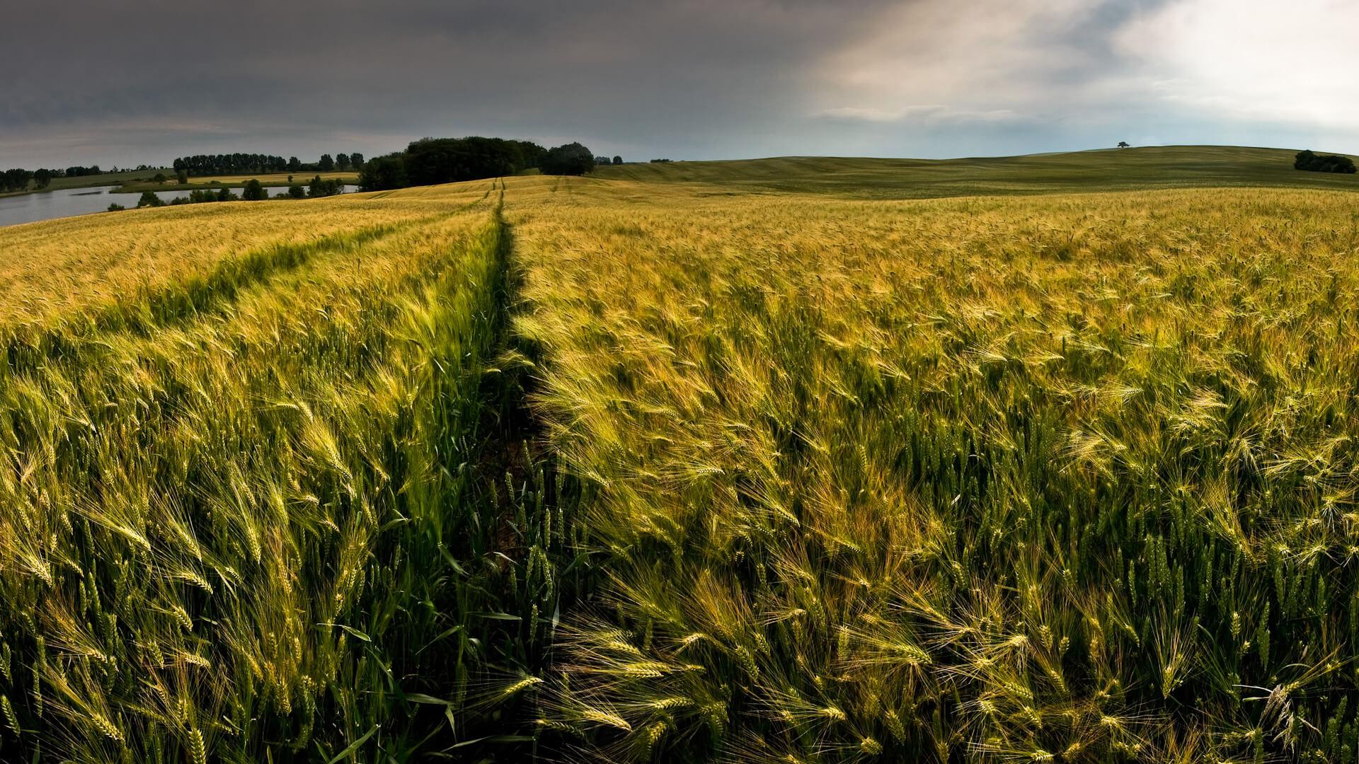 Green Wheat Field Wallpaper Background | HD Wallpaper ...