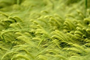 green wheat wallpaper background