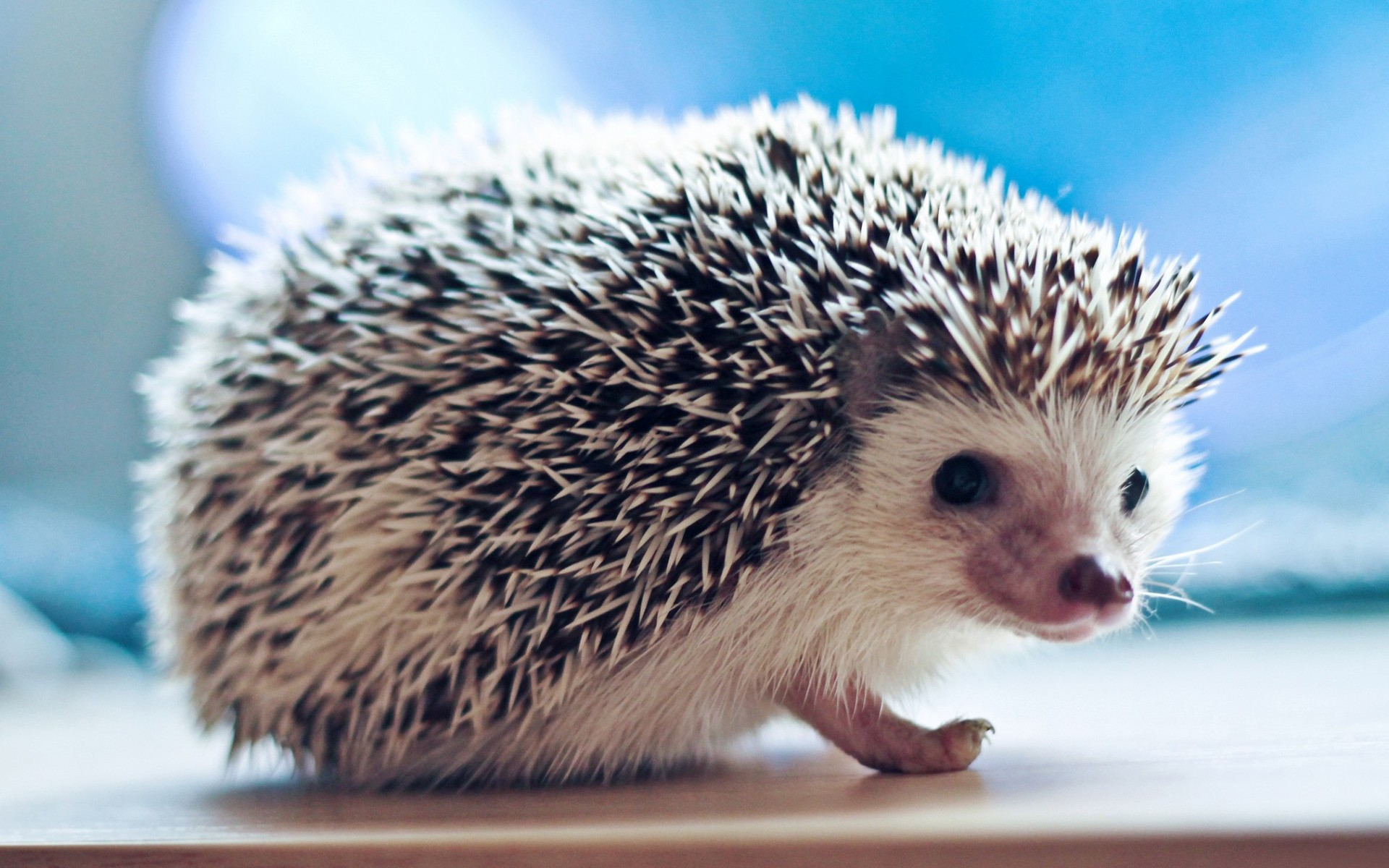 hedgehog wallpaper background
