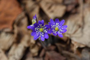 hepatica flowers 4k 5k wallpaper