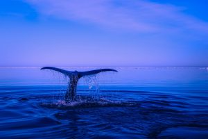 Humpback Whale Tail Wallpaper Background