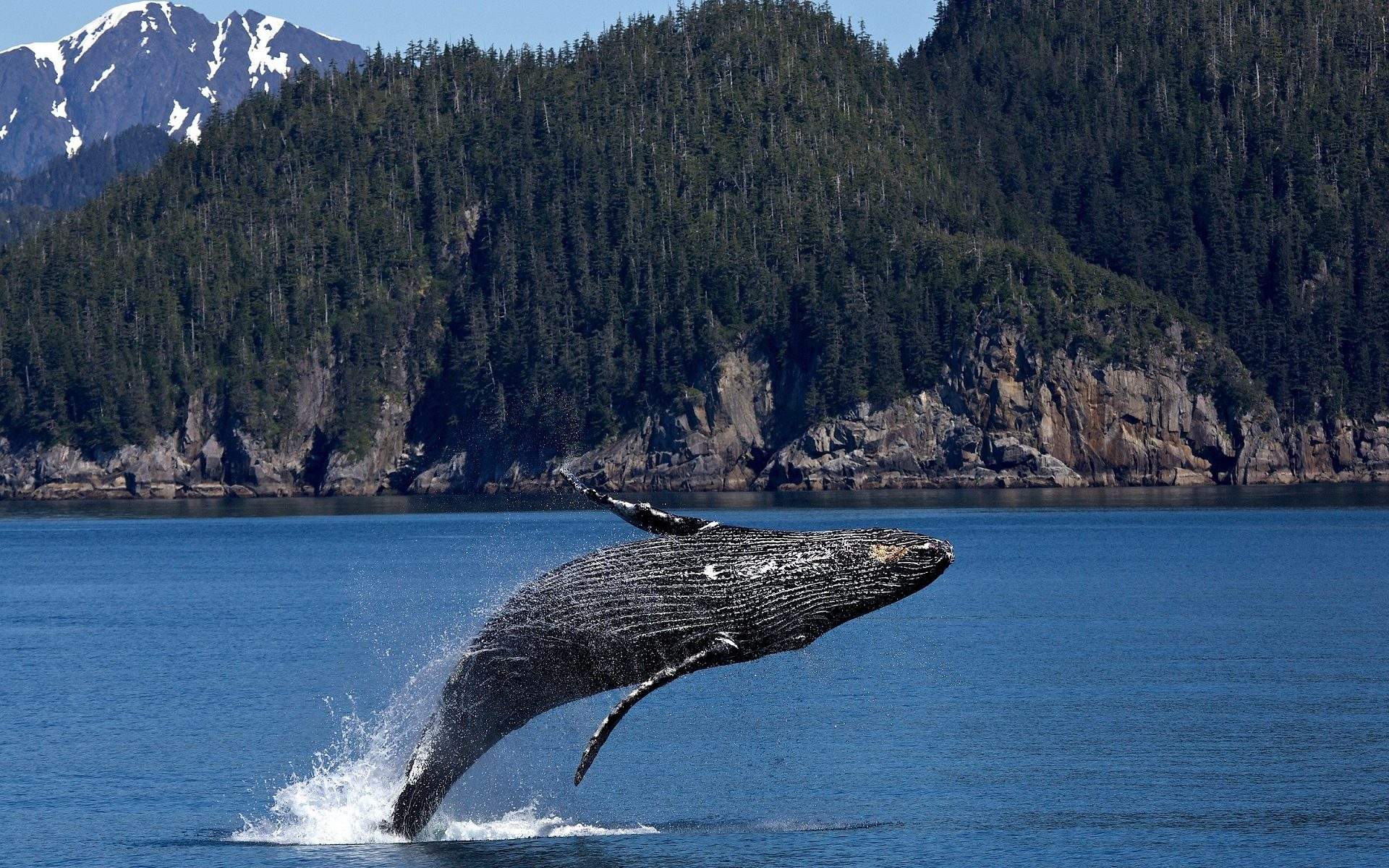 Humpback Whale Wallpaper Background Hd Wallpaper Background