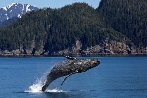 Humpback Whale Wallpaper Background