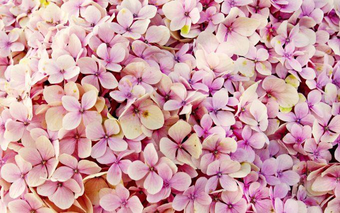 hydrangea, flowers, 4k, 5k, hd, widescreen, wallpaper