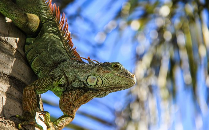 iguana close up wallpaper 4k