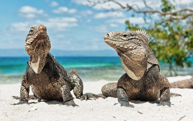 iguana on beach wallpaper background wallpapers