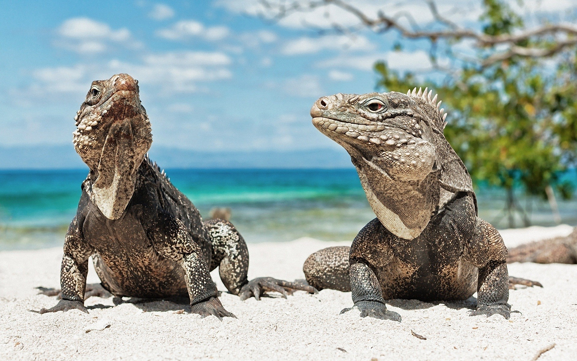 iguana on beach wallpaper background wallpapers