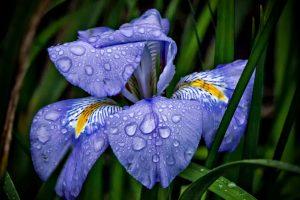 Iris Versicolor 4K Wallpaper