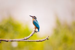 Kingfisher Bird 4K 5K Wallpaper