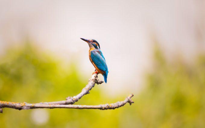 kingfisher bird 4k 5k wallpaper background