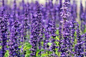 lavender flowers wallpaper background