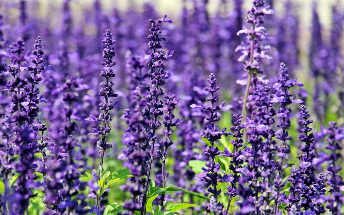 lavender flowers wallpaper background