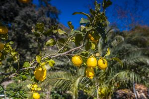 lemons wallpaper 4k background
